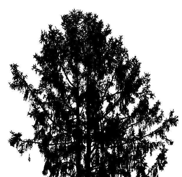 25 Norway Spruce 3W5A9975