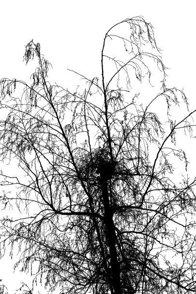 27 grey birch 3W5A9958