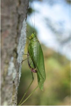false katydid sp.