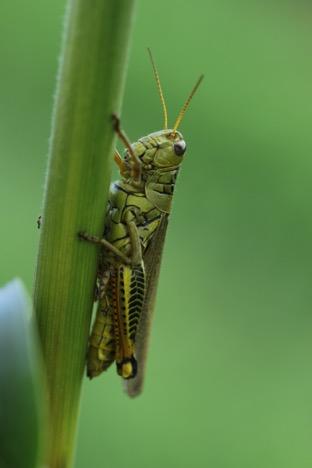 grasshopper femur