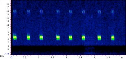 striped ground cricket spectrogram