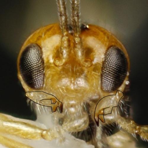 The outward facing mandibles of Epimicta konzaensis
