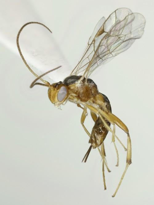 Mesochorus sp.