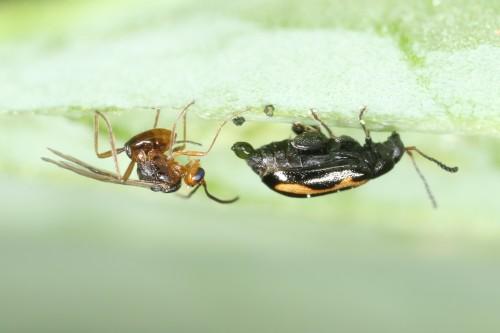 parasitoid approaching flea beetle
